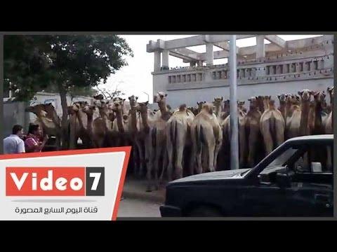 بالفيديو .. 100 ناقة و 5عجول ومليون جنيه دية الصلح بين عائلتي بالمطرية