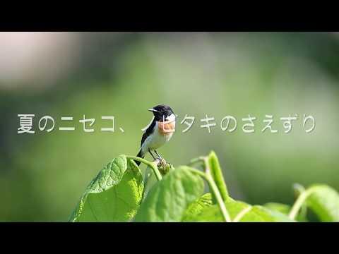 ニセコのノビタキのさえずり、動画