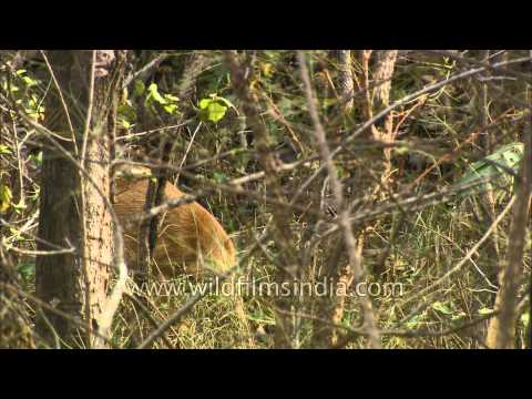 Female four-horned antelope at Satpura National Park