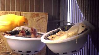 baby canaries feeding....
