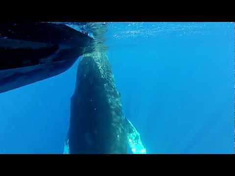 INCREDIBLE Underwater Video of Whale Encounter in Kona, Hawaii January 2013 **UNEDITED**