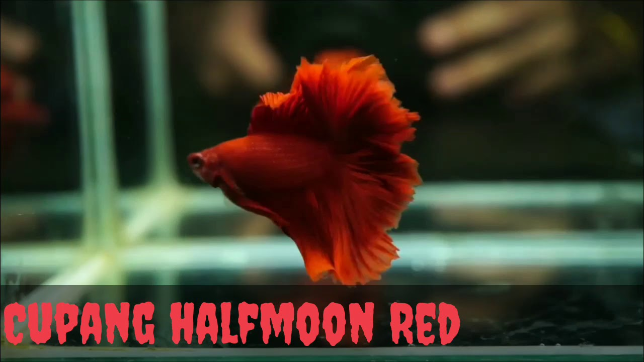 IKAN CUPANG HALFMOON SUPER WHITE AND SUPER RED - YouTube