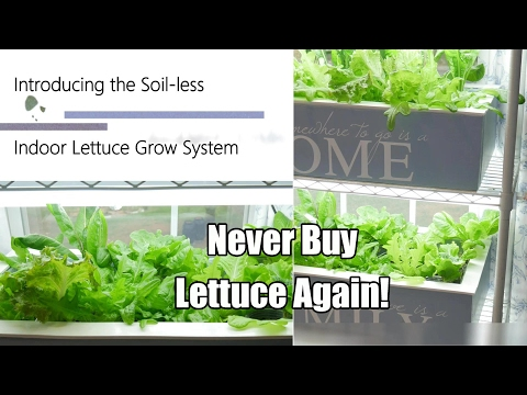 Never Buy Lettuce Again - The Indoor Soil-less Lettuce Grow
