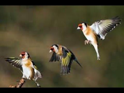 Beautiful Birds in Goldfinch World - The Little Green Bird