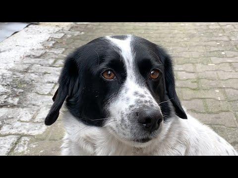 Sausage, The Crossing-Guard Dog Of Batumi