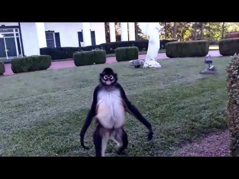 Spanky Spider Monkey wild and Free FUN