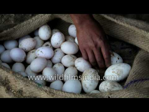 Duck farming in north-east India: Assamese man collects eggs and releases ducks