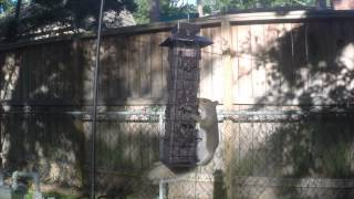 Blue Jays-squirrels Vs Birdfeeder