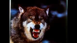 WOLF GROWL VERY SCARY SOUND!! TERRIFYING WOLVES ATTACK TEACHER IN ALSAKA