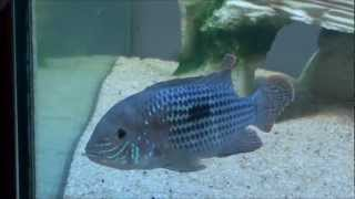 Green Terror Cichlid and Electric Blue Dwarf Crayfish