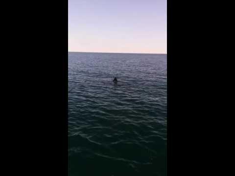 Large Basking sharks off Castlehaven West Cork along the Wild Atlantic Way