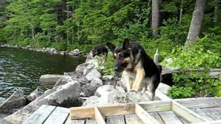Whiny German Shepherds