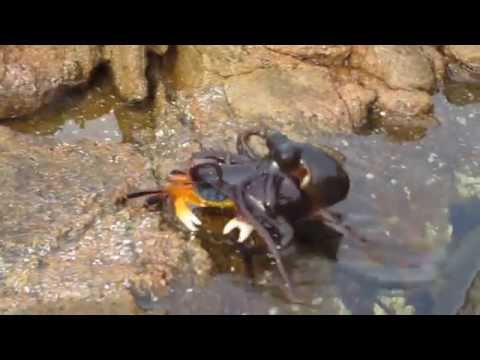 Octopus gets crabby in Yallingup