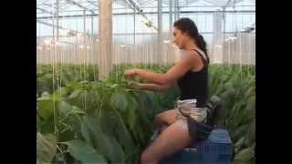 topraksiz tarimda domates yetistiriciligi