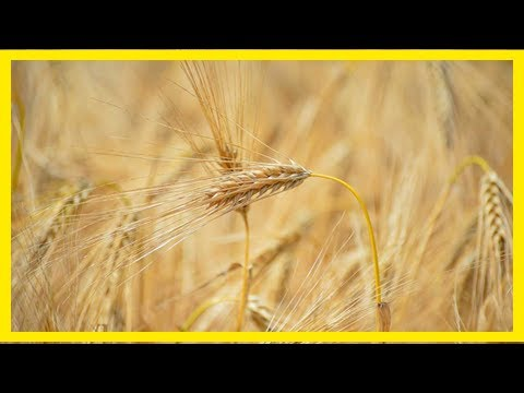 Breaking News | Opportunity for uk wheat in world's largest market