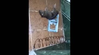 Ratazana morre no banheiro com ratoeira elétrica..