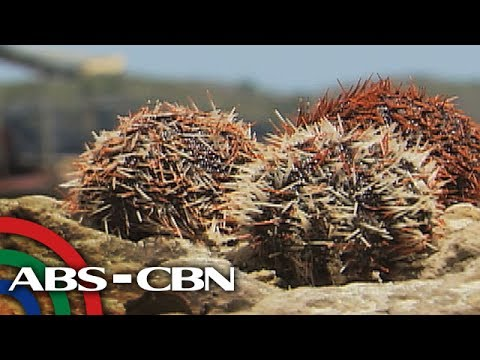 Salamat Dok: Healthy Benefits ng Sea Urchins   Cure Mula sa Nature