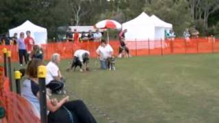 Brisbane Flyball Club (awesome Pawsome Dogs Flyball) Finals
