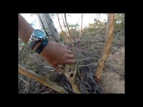 Traditional Noongar Aboriginal Musical Tools  Didgeridoo & Clap Stick Instruments, Mallee Tree Wood