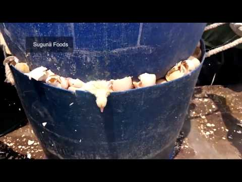 Cruel Treatment of Baby Chicks in the Indian Egg and Meat Industries (Without Narration)