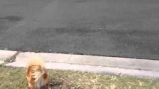 Pomeranian Bridget K Chasing Ducks