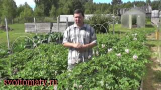 Урожайный картофель. Как избавиться от колорадского жука. Нужно ли удалять цветы