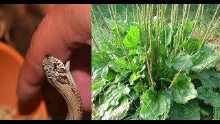 Nếu bị  rắn độc cắn hãy dùng cây thuốc  thần thánh rẻ tiền này rất hữu hiệu
