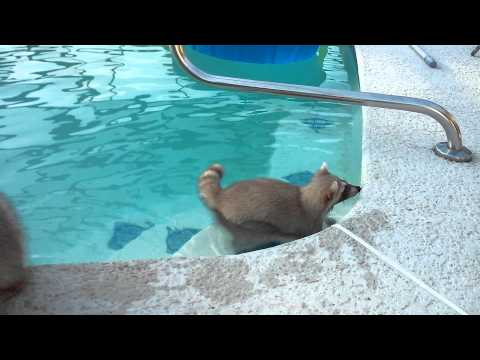 Raccoon Swimming School Opens Its Gates!