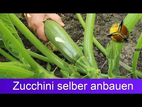 Zucchini selber pflanzen ernten lagern
