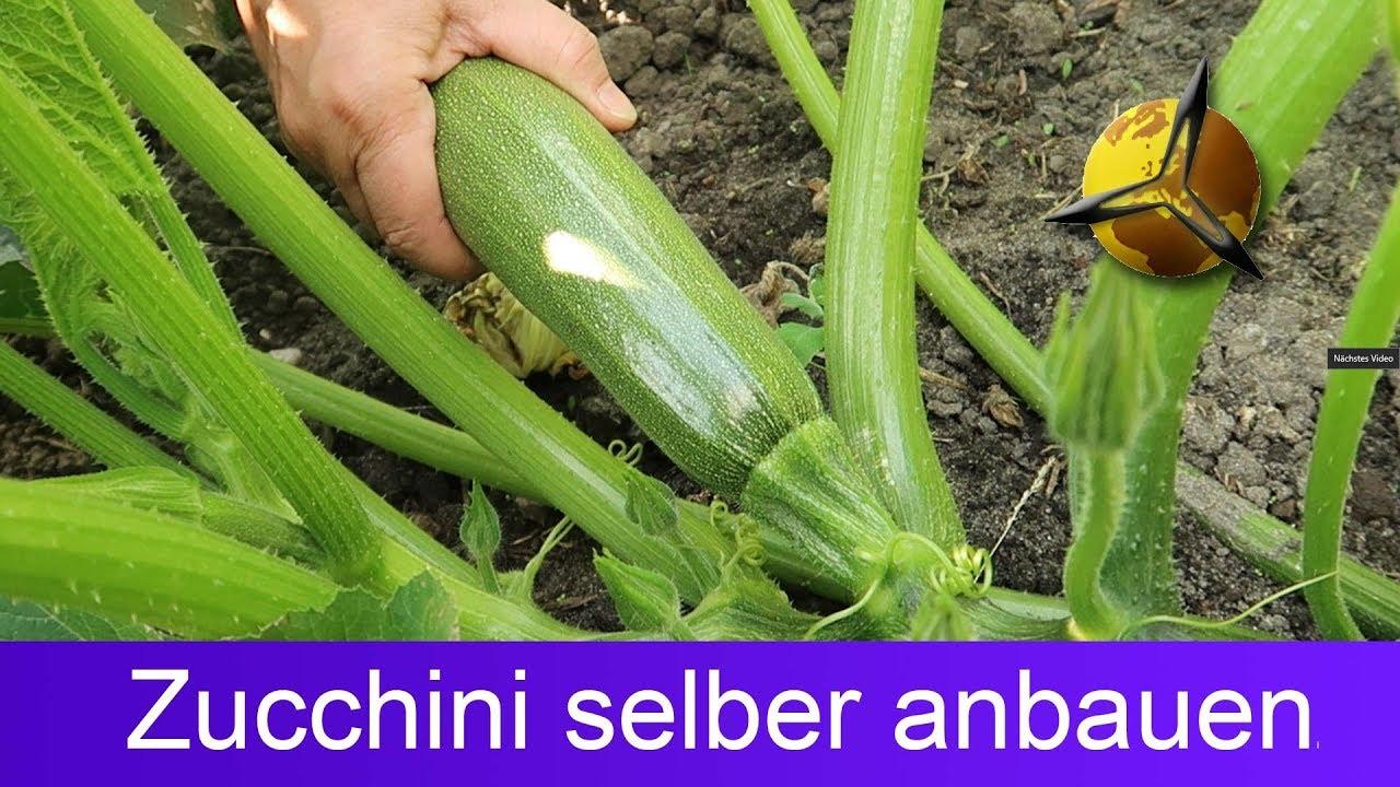 Prächtig Zucchini selber pflanzen ernten lagern - YouTube &DV_54