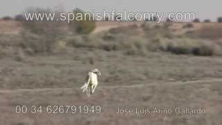 hunting hare with falcon and saluki