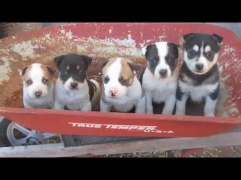 Fostering Husky Pitbull Puppies!