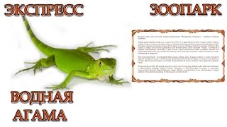 Водяная агама, краткое описание. Онлайн зоопарк