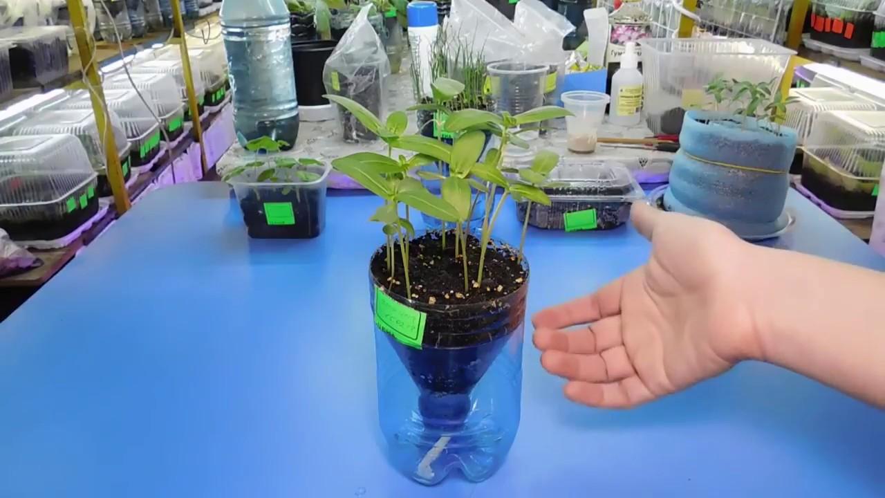 Немезию выращивают чаще всего семенами, которые сеют на рассаду еще. Также можно купить в магазине грунт для выращивания рассады цветов.