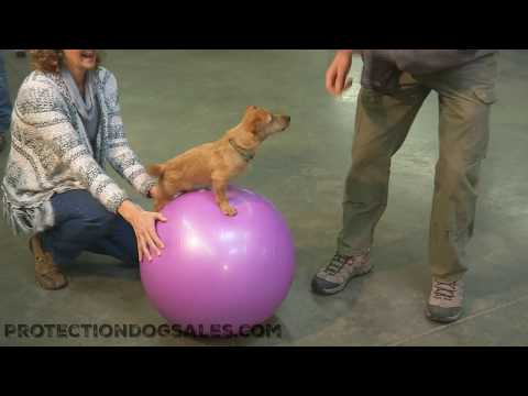 Dream Dog Hunt Terrier Puppy Training 'Anky' 6 Mo's Obedience/Tricks & More