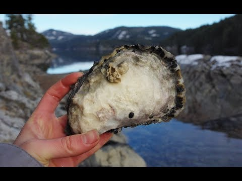 Foraging In Coastal BC: Fresh Oysters!