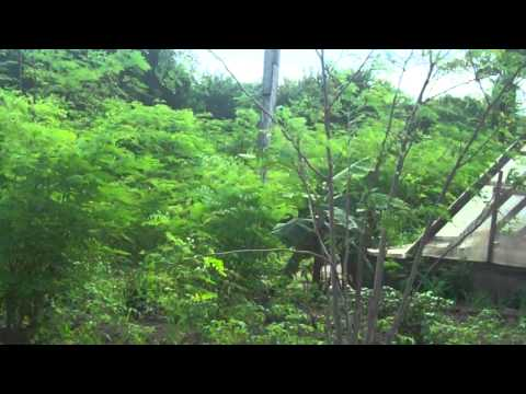 Improvised drip irrigation of moringa farm with waste water bottles