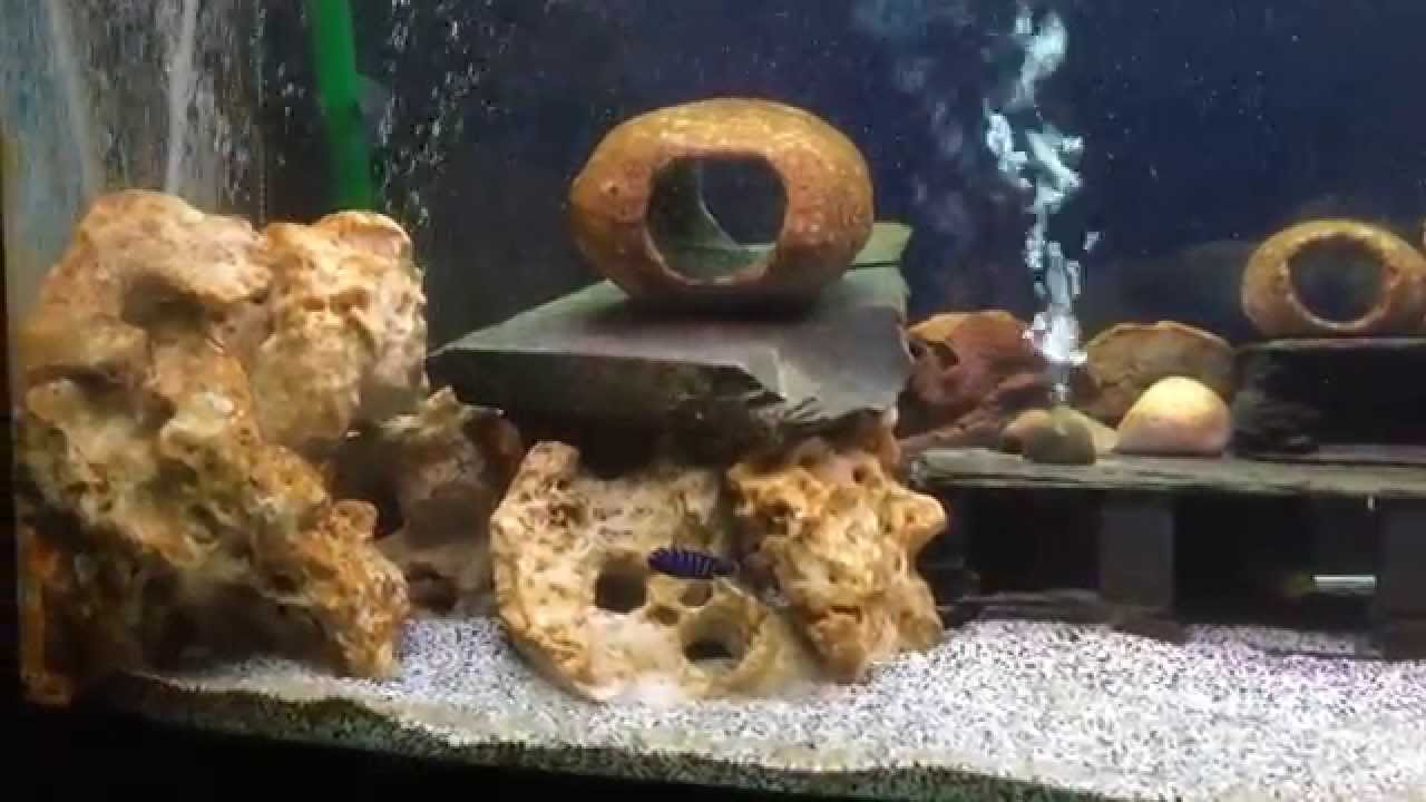 African Cichlid Lounge