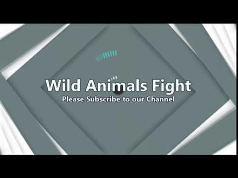 Wild Animals Fight Channel Intro