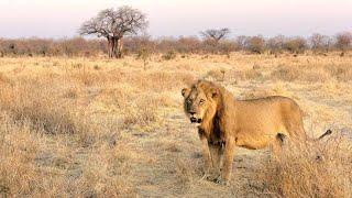 Aslan Krallığı Ezeli Rakipler Nat Geo Wild Türkçe Belgesel 2020 #belgesel #belgeselizle #natgeowild