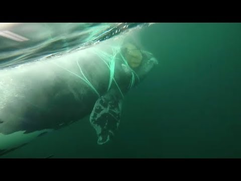 Chilean Navy Rescue Whale Caught In Net