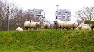 Quand les moutons envahissent la ville !