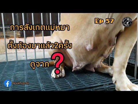 #การสังเกตแม่หมาตั้งท้องมาแล้ว2ครั้งดูจาก  #Ep57  #สยามพิทบูลคลับ  #siampitbullclub