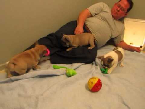 French Bulldog Puppies ~ Evana and Val Litter ~ Oregon French Bulldog Breeders