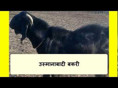 उस्मानाबादी बकरी कि विशेषतये (OSMANABADI GOAT)