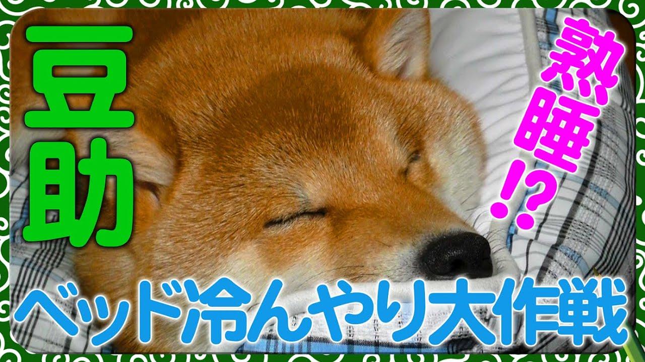豆助、熟睡!ベッドひんやり大作戦<80日目>【柴犬・豆柴】
