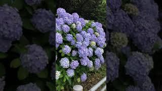 伊木山のふもと 紫陽花 hydrangea