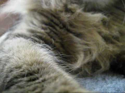 Maine Coon Denali Purring While Groomed - Adopted!