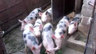 Funny Dalmata Pigs - La Vera Carica Dei 101 !