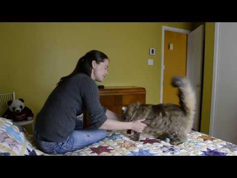 Khione the Siberian cat plays fetch